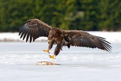 Steinadler mit Fangfischen im verschneiten Winter, Schnee im Waldlebensraum, landend auf Eis Lizenzfreie Stockfotos
