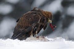 Steinadler mit Fanghasen im verschneiten Winter, Schweden Stockfotografie