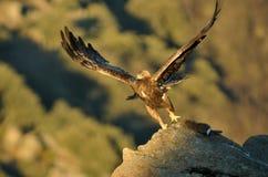 Steinadler mit Flügeln öffnen sich Lizenzfreie Stockfotos