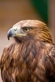 Steinadler - Porträt eines Steinadler Headshot im Profil Lizenzfreie Stockfotografie