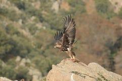Steinadler setzt seine Flügel ein, um sich mit Opfer zu entfernen Stockbild