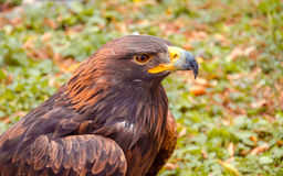 Steinadler, Uhu, Raubvogel, Vogel, Jäger, Falknerei, Natur, Tiere, Schnabel, Augen, Flügel, Stockbild