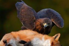 Steinadler, ziehend auf Tötung roten Fox im Wald, Fütterungsszene der Aktion, Angriff im Wald, orange Pelzmantellebensmittel, Det Stockbild