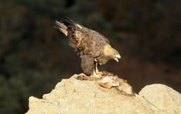 Steinadlerzufuhren auf einem Fuchs auf Felsen Stockfoto