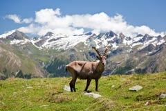 Steinbock. Alpine wildlife: Steinbock or Alpine Ibex (Capra Ibex). Gran Paradiso National Park, Valle d'Aosta, Italy royalty free stock photography