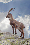Steinbock Royalty Free Stock Photos