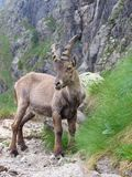 Steinbock Photo stock