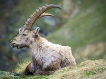 Steinbock Royalty Free Stock Photography