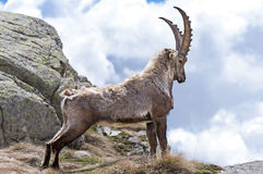 Steinbock Royalty Free Stock Photo