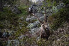 Steinbock. Alpine Ibex Capra ibex, Stock Photos