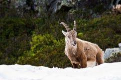 Steinbock auf dem Schnee stockfotos
