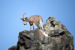 Steinbock auf einem Felsen Stockfoto