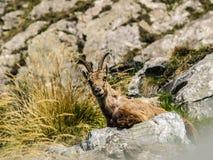 Steinbock auf italienischen Alpen Stockfotografie
