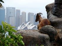 Steinbock auf Sydney-Skylinen Stockfotografie