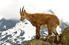 Steinbock in Chamonix stockbilder