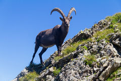 Steinbock Royalty Free Stock Images