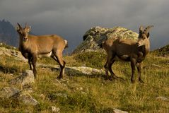 Steinbock in den Alpen Lizenzfreie Stockfotos