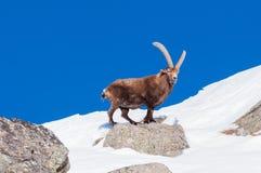 Steinbock en la nieve en el parque magnífico de Paradiso, Italia imagenes de archivo