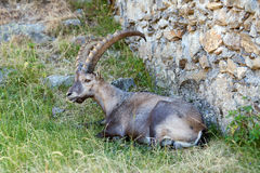 Steinbock está descansando na inclinação de montanha Foto de Stock Royalty Free