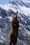 Steinbock on Gran Paradiso. Capra Ibex, steinbock, attack on the legs in the national park of Gran Paradiso, Valle Orco, Italy Stock Photography