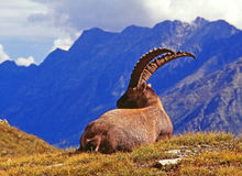 Steinbock. Great male steinbock in alpine environment stock photography