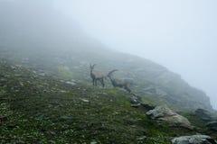 Steinbock im Nebel Stockbilder