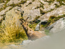 Steinbock on italian alps Stock Image