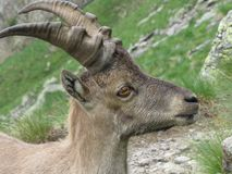 Steinbock Royalty Free Stock Image