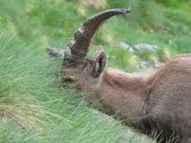 Steinbock Stock Photography