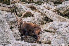 Steinbock Mountain Goat. A Steinbock mountain goat at the Alpine Zoo in Innsbruck Tirol, Austria royalty free stock image