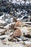 Steinbock oder Ziegen auf Berg Stockfotos