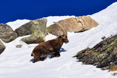 Steinbock in the snow in Grand Paradiso Park, Italy Royalty Free Stock Photography