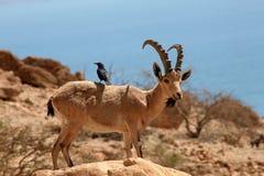 Steinbock und Vogel ein gedi Israel Stockfotos