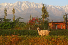 Steinbock-Widder-Gebirgsziege im indischen Himalaja lizenzfreies stockbild