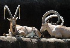 Steinbock-Ziegen stockfotos