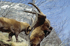 Steinbocks in fight. Two male of steinbocks are fighting for the female in the National Park of Gran Paradiso in Italy stock image
