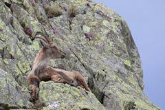 Steinbockziege, die sich in seinem natürlichen Lebensraum hinlegt Lizenzfreie Stockfotografie