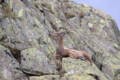 Steinbockziege, die sich in seinem natürlichen Lebensraum hinlegt Stockbild