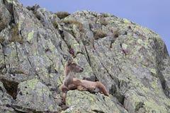 Steinbockziege, die sich in seinem natürlichen Lebensraum hinlegt Lizenzfreie Stockbilder