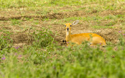 Steinbok Laying in the Grass. A female Steinbok lies in the grass in the Serengeti Stock Image