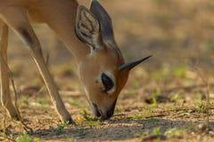 Steinbok Steenbok Lizenzfreie Stockfotografie