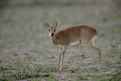 Steinbuck, Raphicerus campestris Royalty Free Stock Images