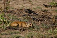 Steinbuck se cachant, Botswana Photos libres de droits