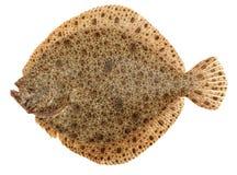 Steinbutt-Fische stockbild