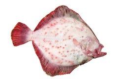 Steinbutt-Fische Stockfotografie