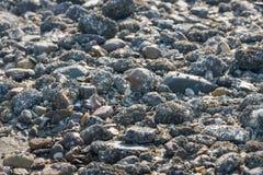 Steine bedeckt mit Eichelrankenfußkrebsen vom Abschluss Stockfotos