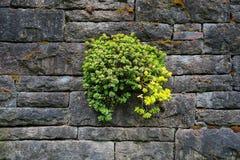 Steinernte-saftiges Wachsen auf alter Steinwand Stockfotos