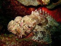 Steinfische Lizenzfreies Stockfoto