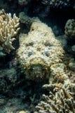 Steinfische und Korallen auf Riff im Roten Meer Lizenzfreies Stockbild