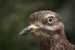 Steingroßer brachvogel Stockfotografie